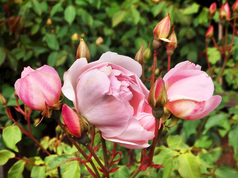 rose - photo #28