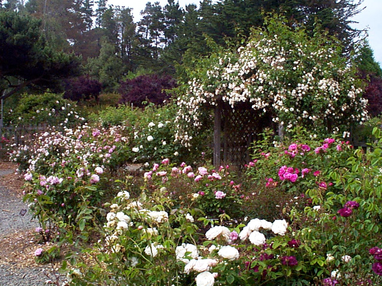 Heritage Rose Garden   Collections   MCBG Inc. 2018 | Fort Bragg, California