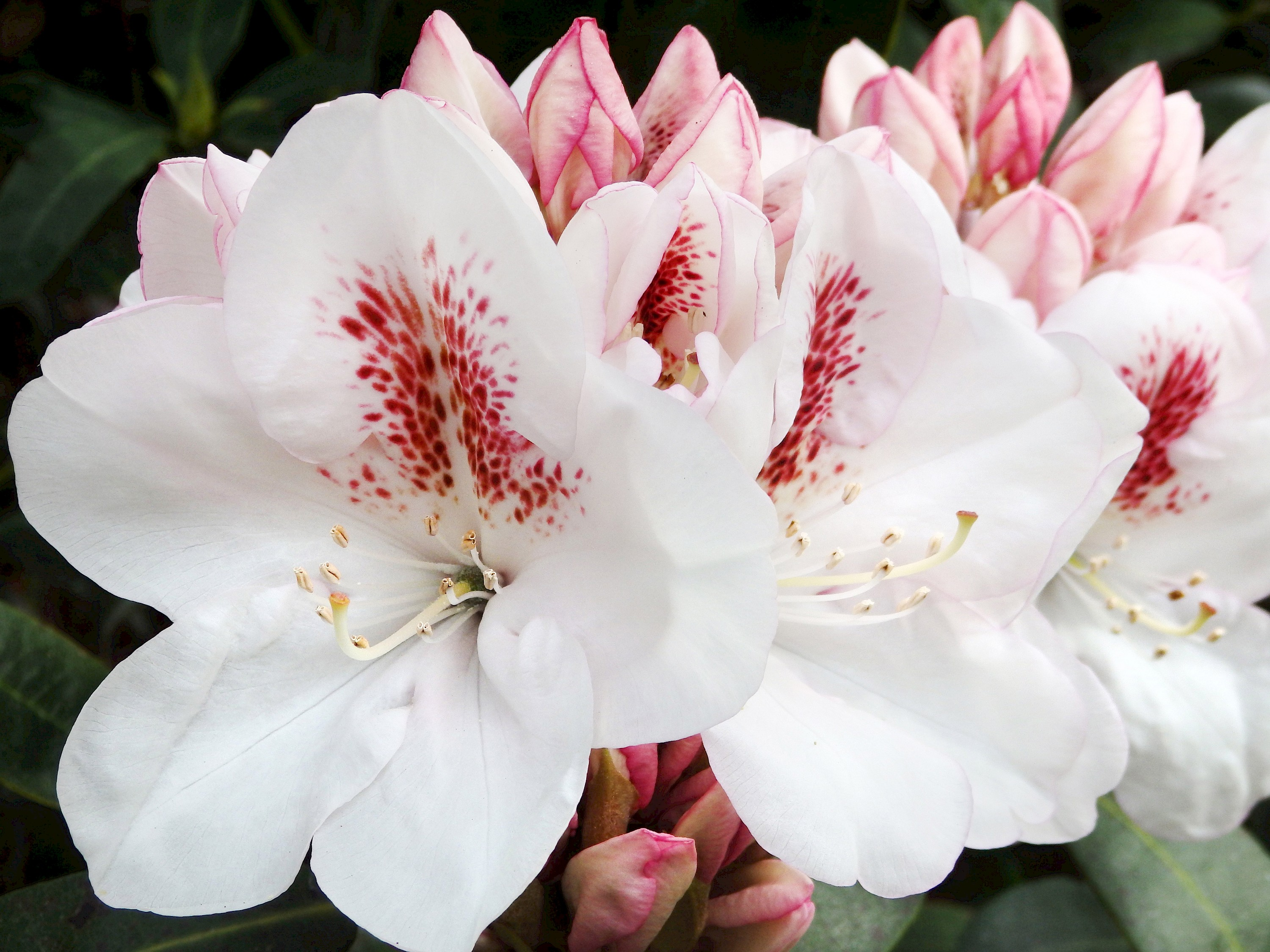Rhododendron Collection Collections Mcbg Inc 2018 Fort Bragg