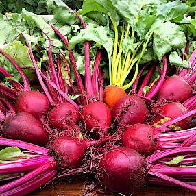 Photo: A colorful harvest of beets by MCBG volunteer Nancy Housel