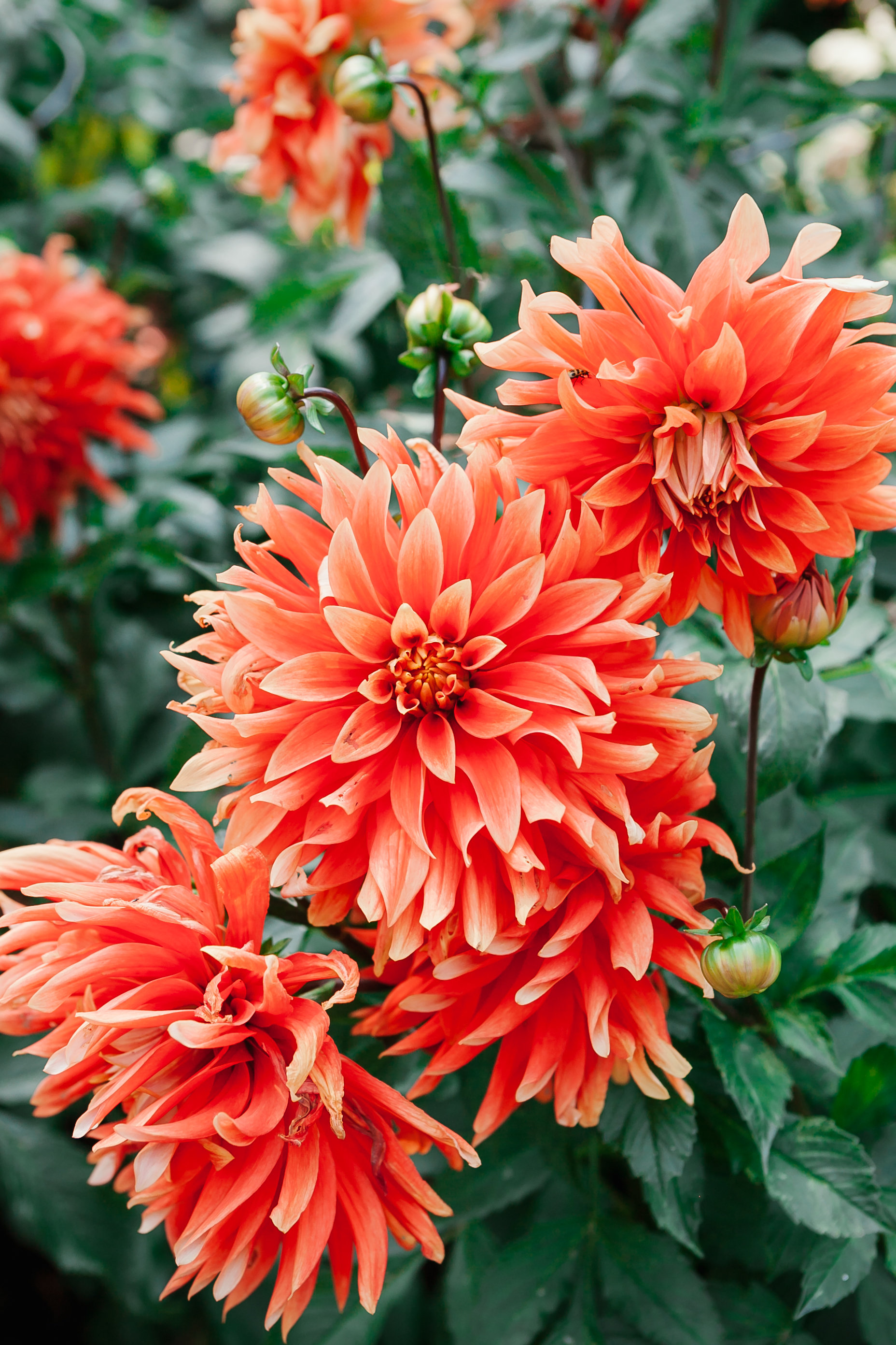 Dahlia garden collections mcbg inc 2018 fort bragg california tammie gilchrist photography tammiegilchrist izmirmasajfo Image collections