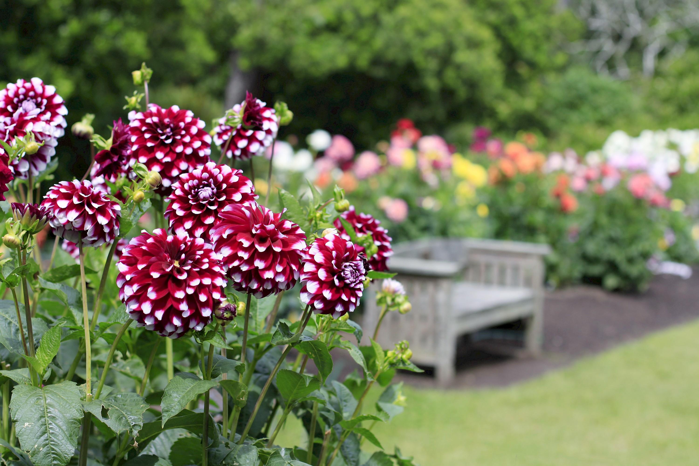 dahlia_garden-memorial_bench_mg_0104.jpg