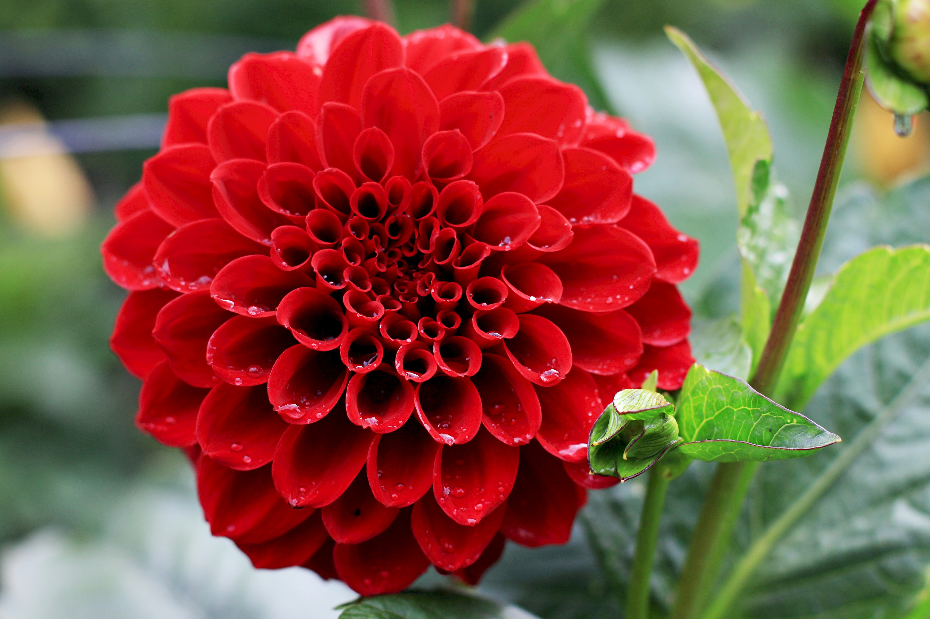 Dahlia Garden Collections Mcbg Inc 2019 Fort Bragg