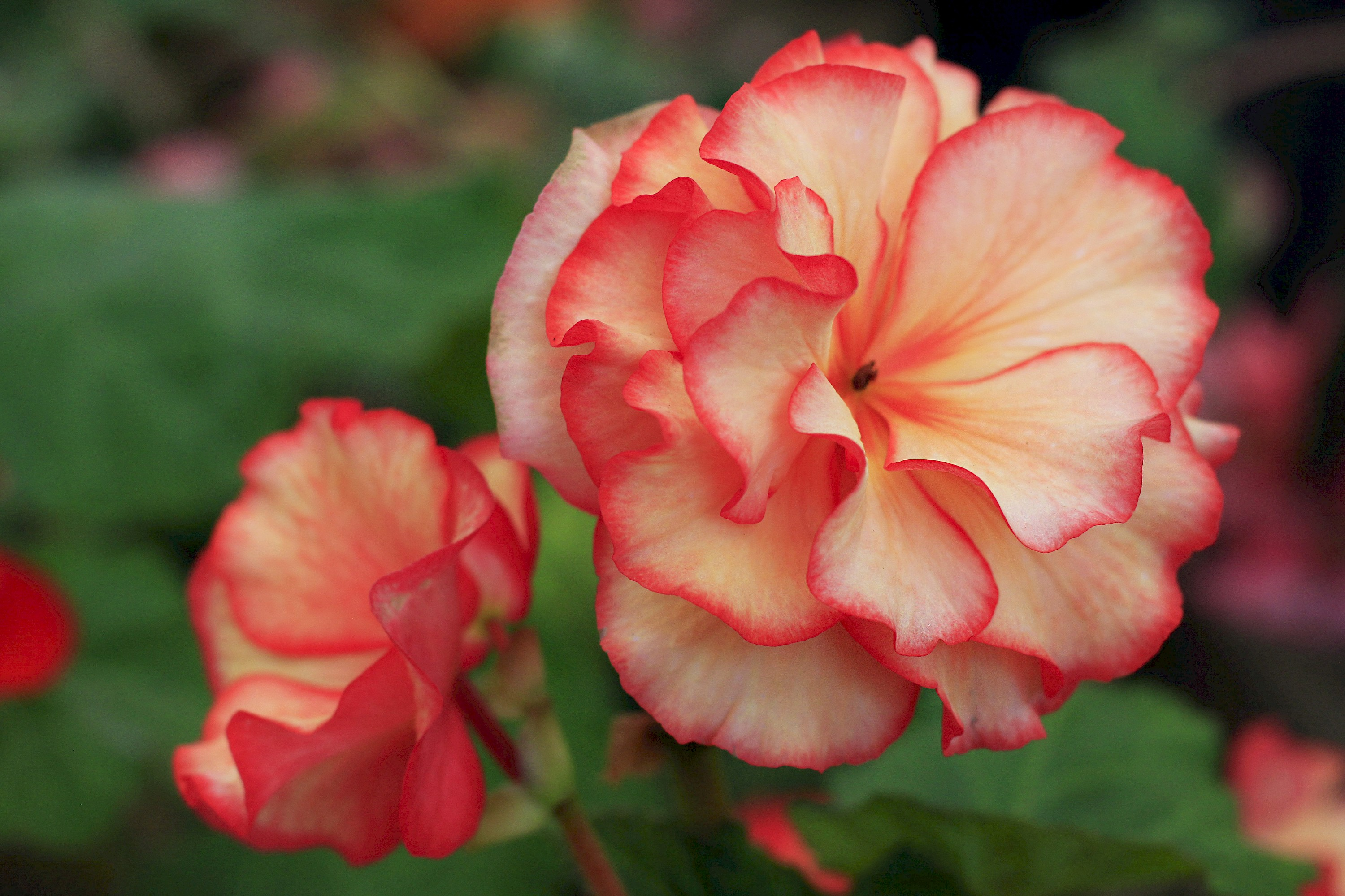 Begonias Collections Mcbg Inc 2019 Fort Bragg