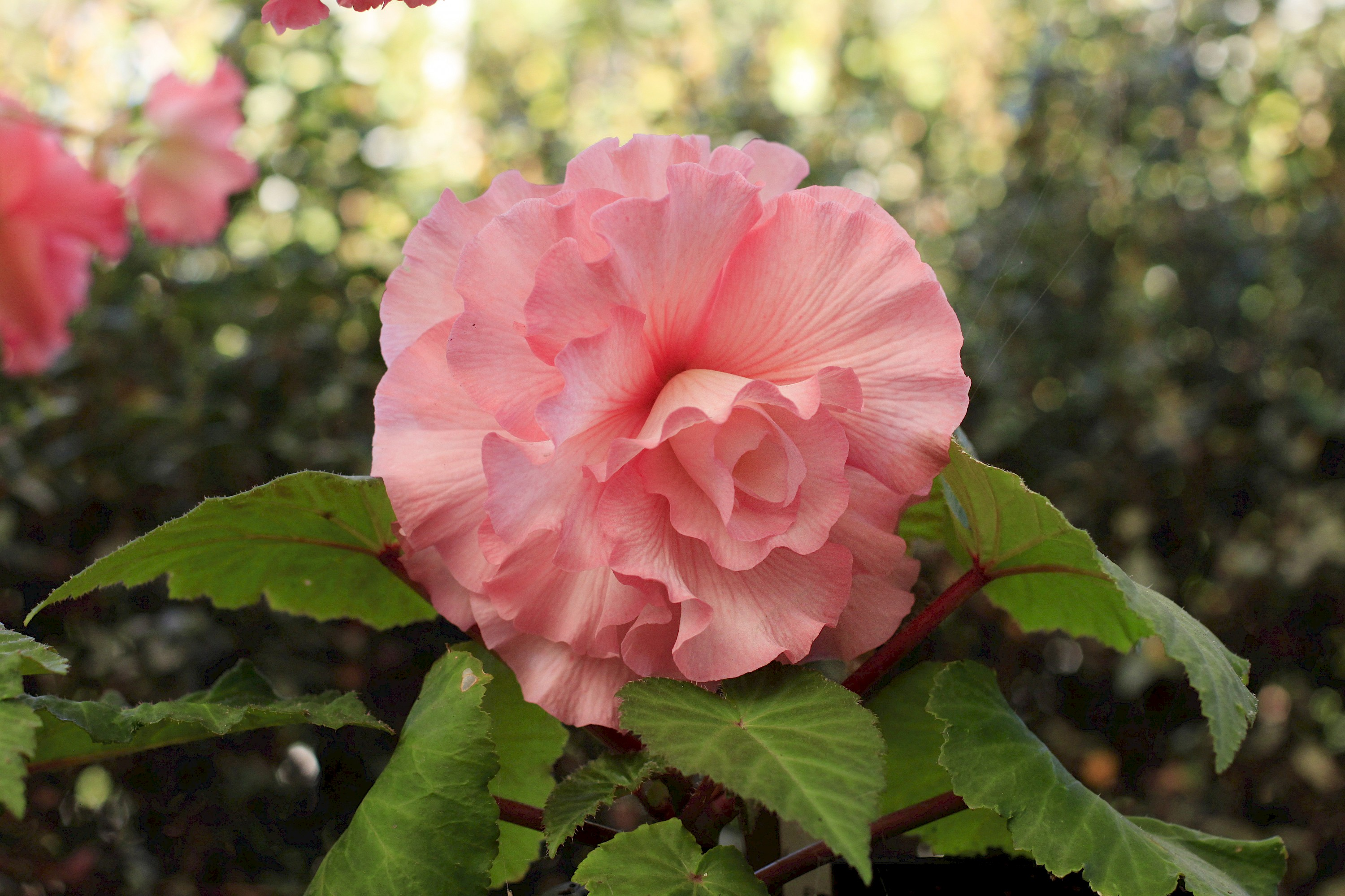 Begonias Collections Mcbg Inc 2018 Fort Bragg