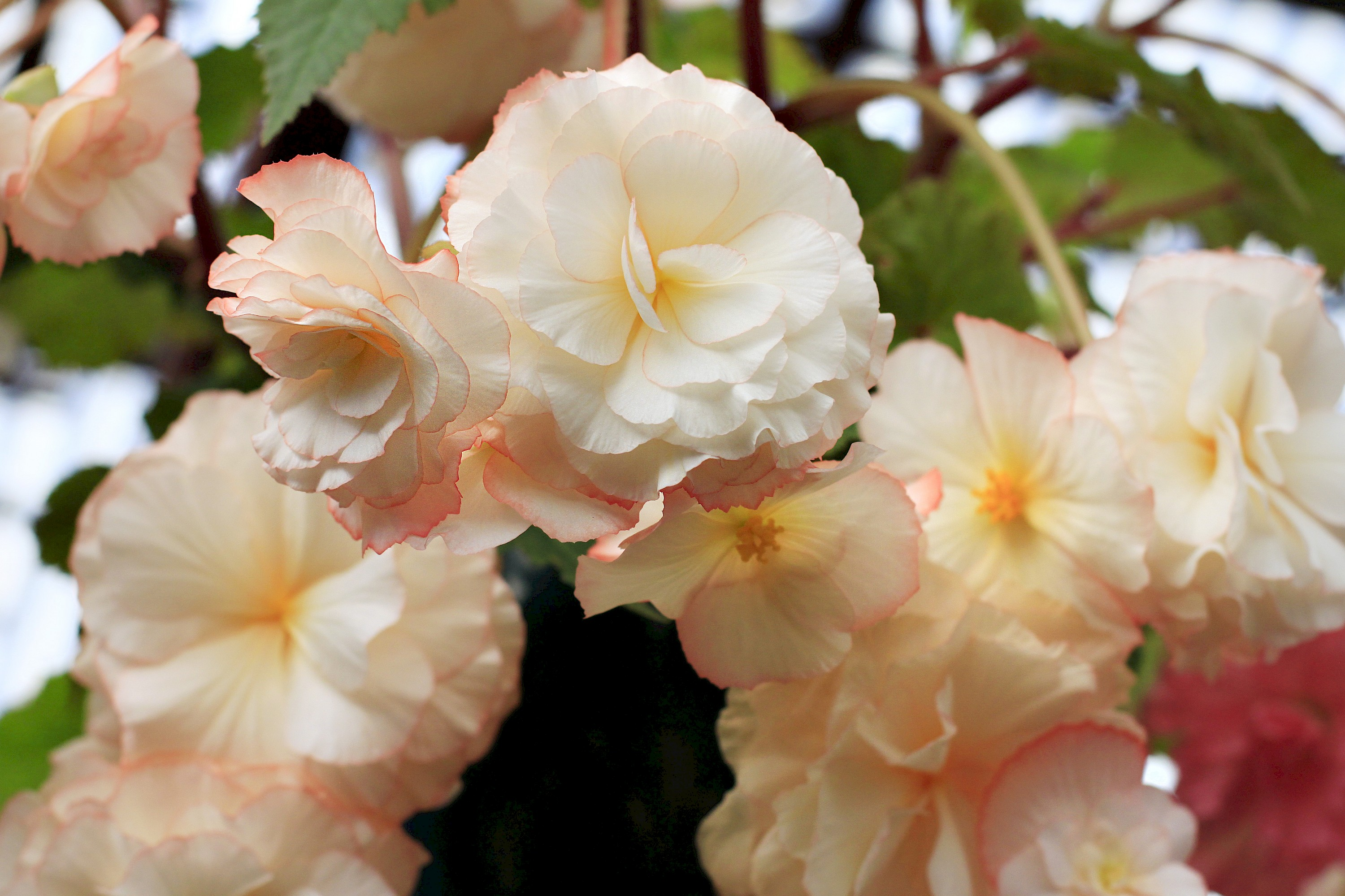 Begonias Display House Display Collections Areas Mcbg Inc