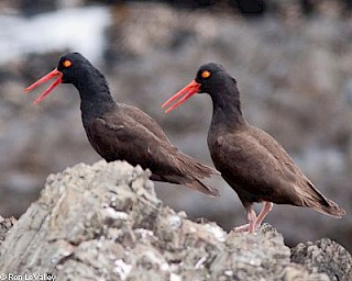 Black Oystercatcher gallery image