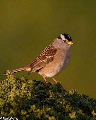 White-crowned Sparrow gallery image