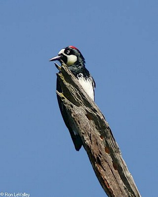 Acorn Woodpecker gallery image