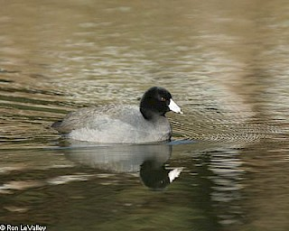American Coot gallery image