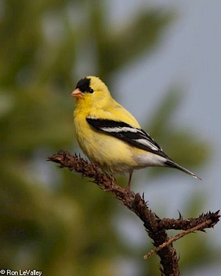 American Goldfinch gallery image