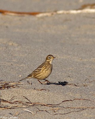 American Pipit gallery image
