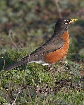 American Robin gallery image