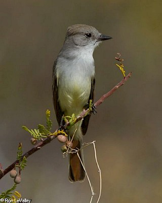 Ash-throated Flycatcher gallery image