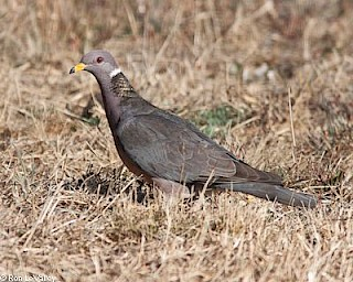 Band-tailed Pigeon gallery image