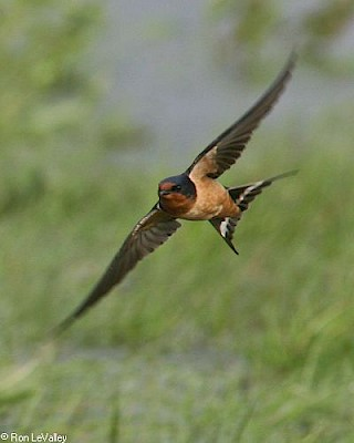 Barn Swallow gallery image