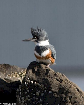 Belted Kingfisher gallery image