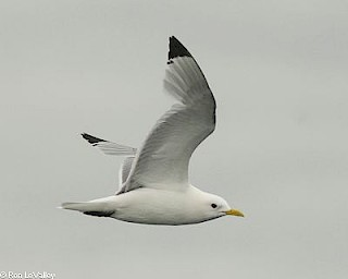 Black-legged Kittiwake gallery image