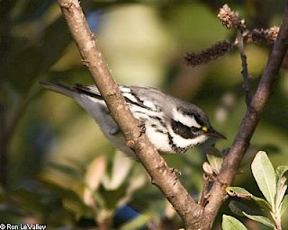 Black-throated Gray Warbler gallery image