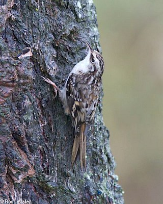 Brown Creeper gallery image