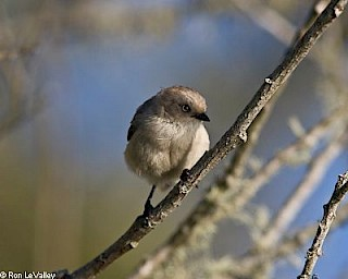 Common Bushtit gallery image