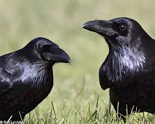 Common Raven gallery image