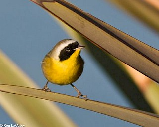 Common Yellowthroat gallery image