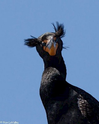 Double-crested Cormorant gallery image