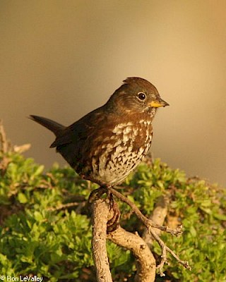 Fox Sparrow gallery image