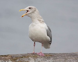 Glaucous-winged Gull (adult) gallery image