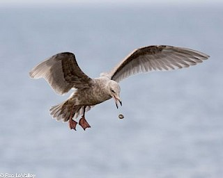 Glaucous-winged Gull (juvenile) gallery image