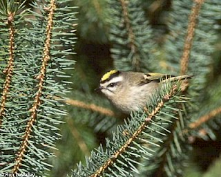 Golden-crowned Kinglet gallery image