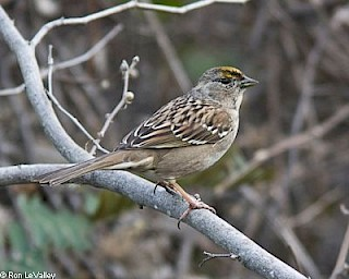 Golden-crowned Sparrow gallery image