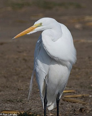 Great Egret gallery image
