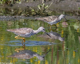 Greater and Lesser Yellowlegs gallery image