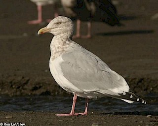 Herring Gull gallery image