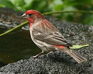 House Finch (male) gallery image