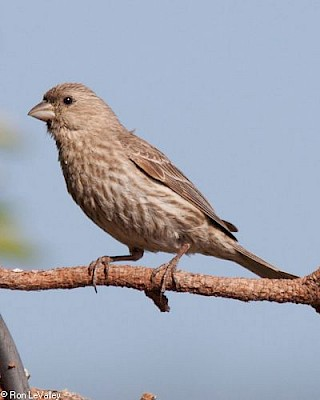 House Finch (female) gallery image