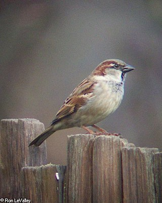 House Sparrow gallery image