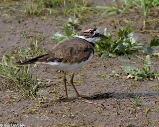 Killdeer gallery image