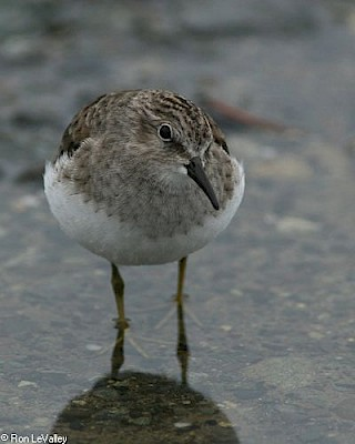 Least Sandpiper gallery image