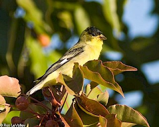 Lesser Goldfinch (male) gallery image