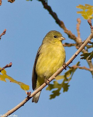 Lesser Goldfinch (female) gallery image