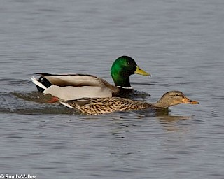 Mallard (male and female) gallery image