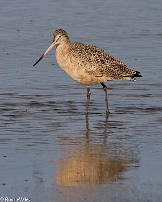 Marbled Godwit gallery image