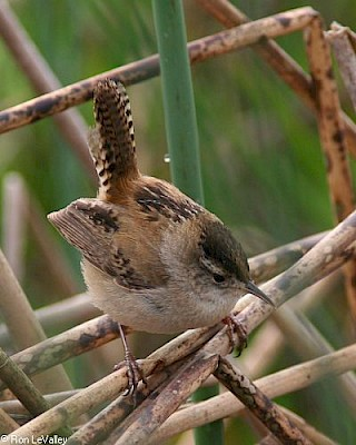 Marsh Wren gallery image