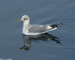 Mew Gull gallery image
