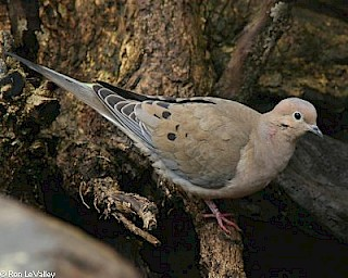 Mourning Dove gallery image