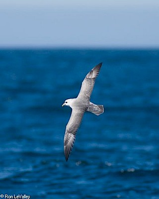 Northern Fulmar gallery image