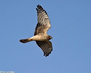 Northern Harrier gallery image